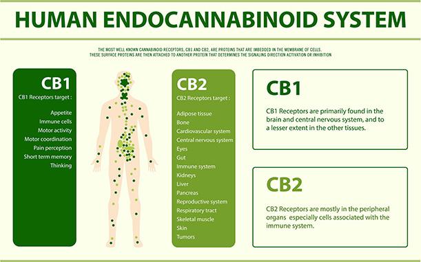 Human Cannabinoid System
