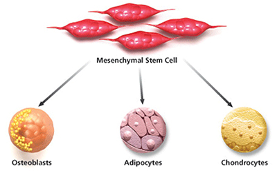Regenerative Stem Cells